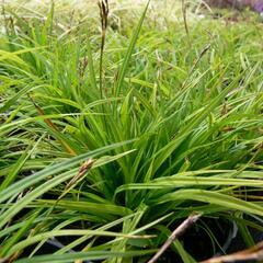 Ostřice prstnatá - Carex digitata
