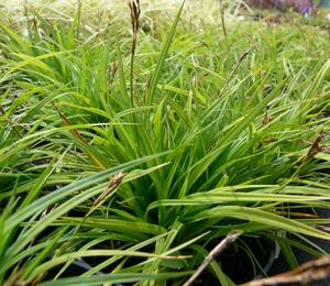 Ostřice prstnatá - Carex digitata