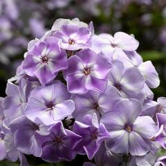 Plamenka latnatá 'Sweet Summer Compact Lilac With Eye' - Phlox paniculata 'Sweet Summer Compact Lilac With Eye'
