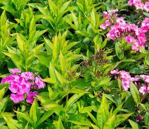 Plamenka latnatá 'Sweet Summer Compact Rose' - Phlox paniculata 'Sweet Summer Compact Rose'