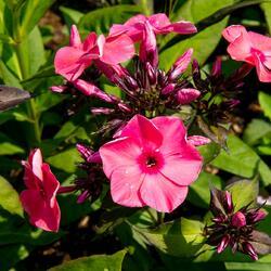 Plamenka latnatá 'Sweet Summer Orange Rose' - Phlox paniculata 'Sweet Summer Orange Rose'