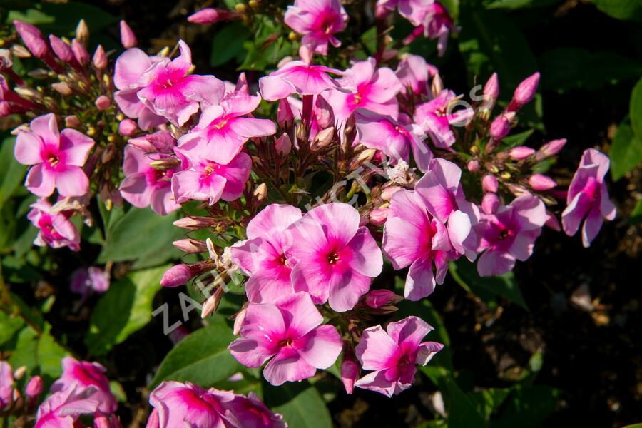 Plamenka latnatá 'Sweet Summer Compact Rose with Dark Eye' - Phlox paniculata 'Sweet Summer Compact Rose with Dark Eye'