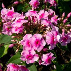 Plamenka latnatá 'Sweet Summer Compact Rose with Dark Eye' - Phlox paniculata 'Sweet Summer Compact Rose with Dark Eye'