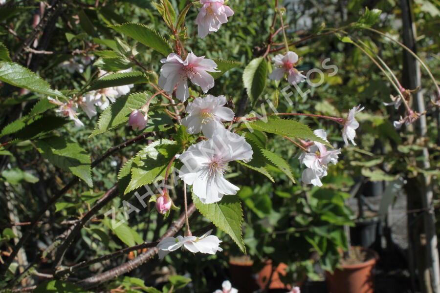 Višeň chloupkatá 'Autumnalis Rosea' - Prunus subhirtella 'Autumnalis Rosea'