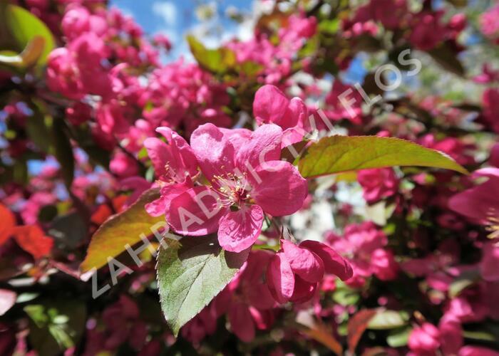 Okrasná jabloň - Malus