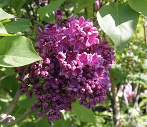 Šeřík obecný 'Andenken an Ludwig Spath' - Syringa vulgaris 'Andenken an Ludwig Spath'