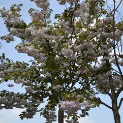 Višeň pilovitá 'Shiro-fugen' - Prunus serrulata 'Shiro-fugen'