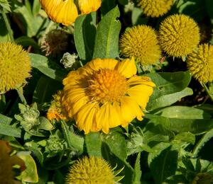 Kokarda osinatá 'Sunrita Golden Yellow' - Gaillardia aristata 'Sunrita Golden Yellow'