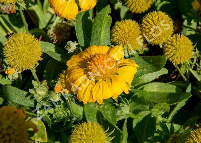 Kokarda osinatá 'Sunrita Golden Yellow' - Gaillardia aristata 'Sunrita Golden Yellow'