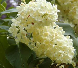 Šeřík obecný 'Primrose' - Syringa vulgaris 'Primrose'