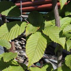 Habr obecný 'Lucas' - Carpinus betulus 'Lucas'