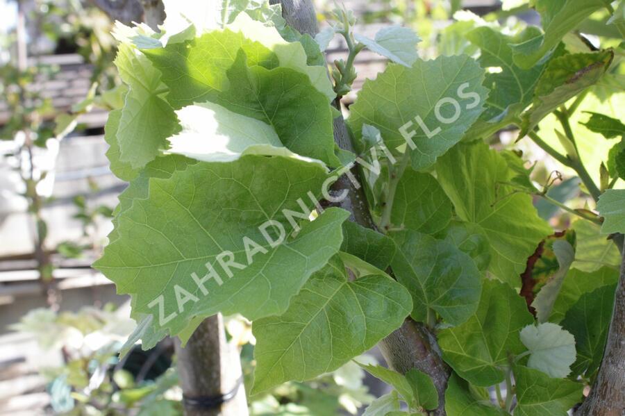 Lípa velkolistá 'Silver Globe' - Tilia platyphyllos 'Silver Globe'