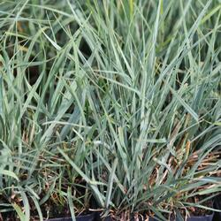 Ostřice prosová - Carex panicea
