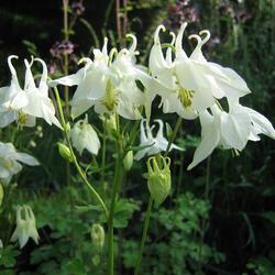 Orlíček obecný 'Alba' - Aquilegia vulgaris 'Alba'