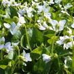 Violka vonná 'Freckles' - Viola sororia 'Freckles'