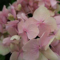 Hortenzie velkolistá 'Bouquet Rose' - Hydrangea macrophylla 'Bouquet Rose'