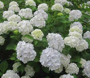 Hortenzie velkolistá 'Madame Emile Mouillère' - Hydrangea macrophylla 'Madame Emile Mouillère'