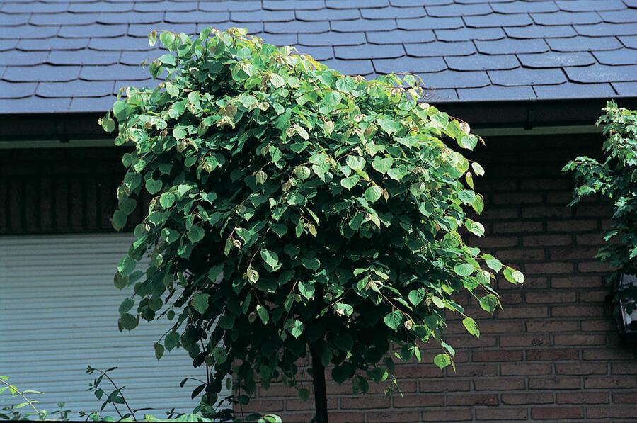 Lípa srdčitá 'Green Globe' - Tilia cordata 'Green Globe'