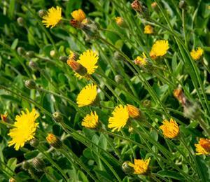 Jestřábník chlupáček - Hieracium pilosella