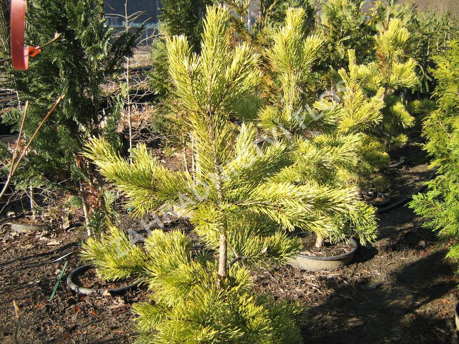 Borovice lesní 'Aurea' - Pinus sylvestris 'Aurea'