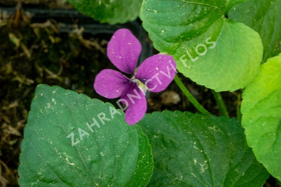 Violka 'Rubra' - Viola sororia 'Rubra'