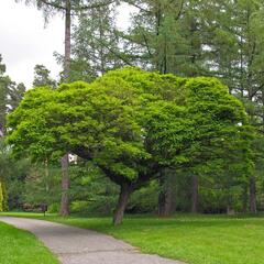 Trnovník akát 'Umbraculifera' - Robinia pseudoacacia 'Umbraculifera'