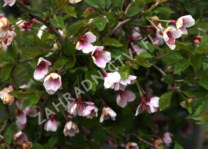 Slivoň vyříznutá 'Kojou-no-mai' - Prunus incisa 'Kojou-no-mai'