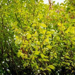 Jilm habrolistý 'Umbraculifera' - Ulmus carpinifolia 'Umbraculifera'