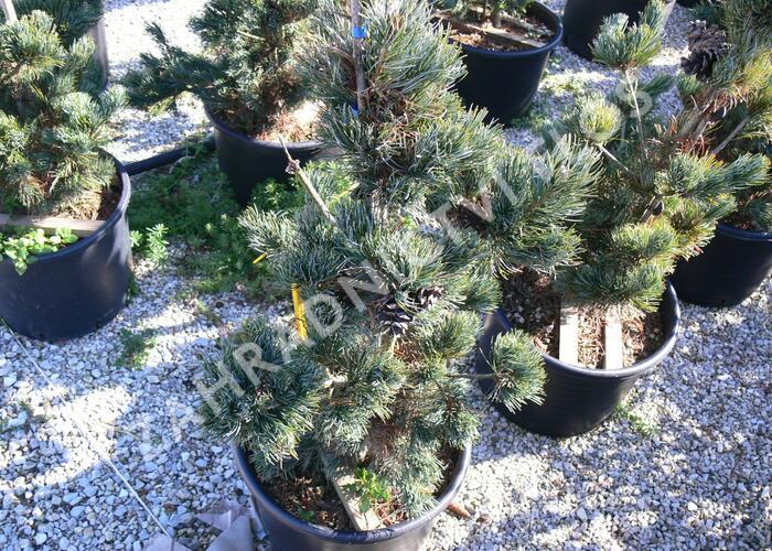 Borovice malokvětá 'Tempelhof' - Pinus parviflora 'Tempelhof'