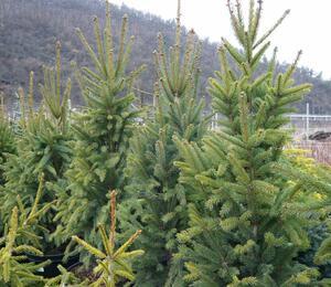 Smrk ztepilý 'Cupressina' - Picea abies 'Cupressina'