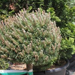 Borovice kleč 'Allgäu' - Pinus mugo 'Allgäu'