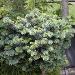 Smrk sitka 'Silberzwerk' - Picea sitchensis 'Silberzwerk'