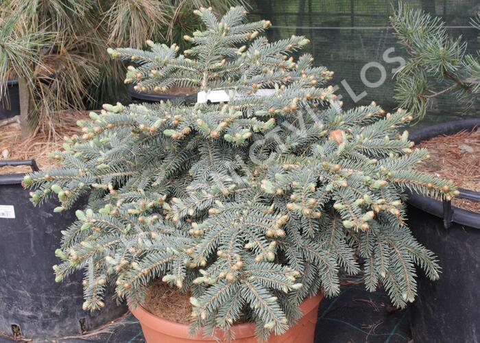 Smrk pichlavý 'Nidiformis Kalouš' - Picea pungens 'Nidiformis Kalouš'