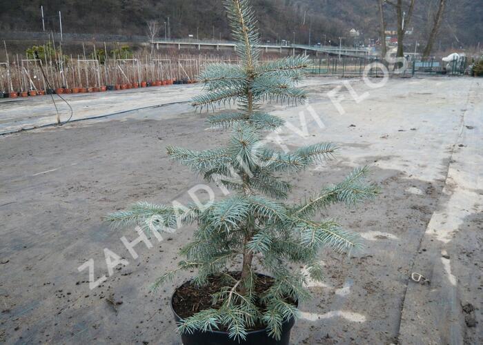 Smrk pichlavý 'Glauca' - Picea pungens 'Glauca'
