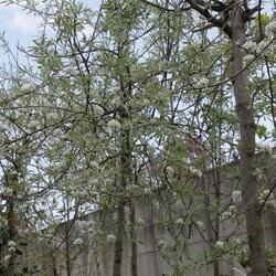 Hrušeň vrbolistá 'Pendula' - Pyrus salicifolia 'Pendula'