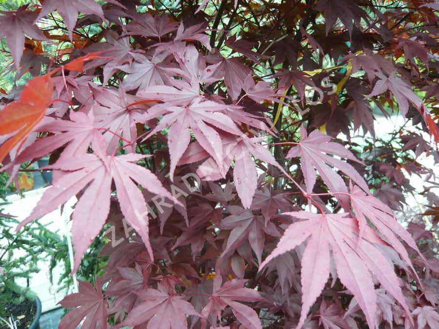 Javor dlanitolistý 'Fireglow' - Acer palmatum 'Fireglow'