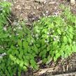 Škornice Youngova 'Roseum' - Epimedium youngianum 'Roseum'
