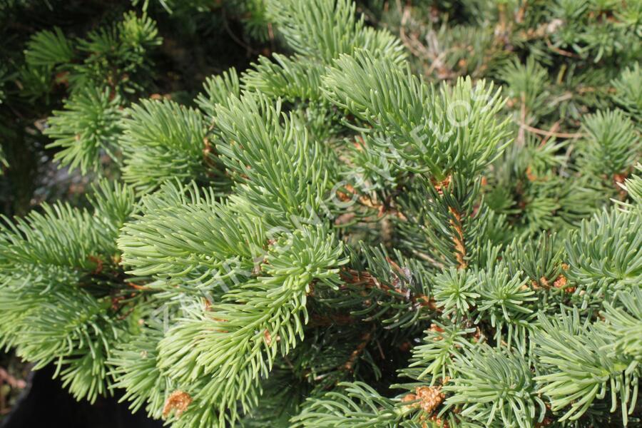 Smrk pichlavý 'Lucky Strike' - Picea pungens 'Lucky Strike'