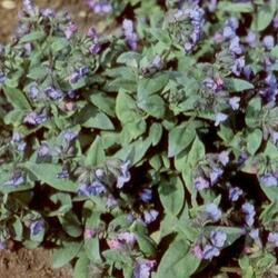 Plicník 'Azurea' - Pulmonaria angustifolia 'Azurea'