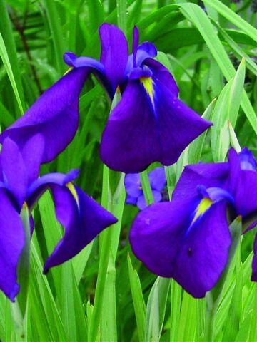 Kosatec mečovitý - Iris ensata