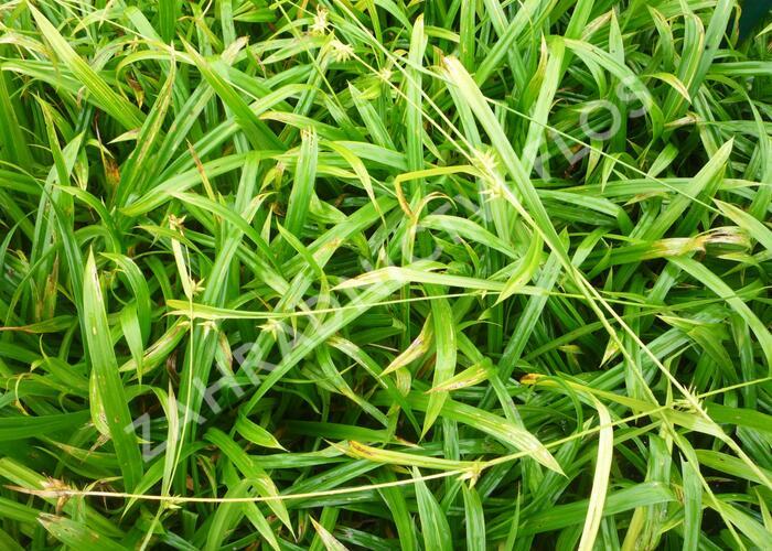 Ostřice - Carex folliculata