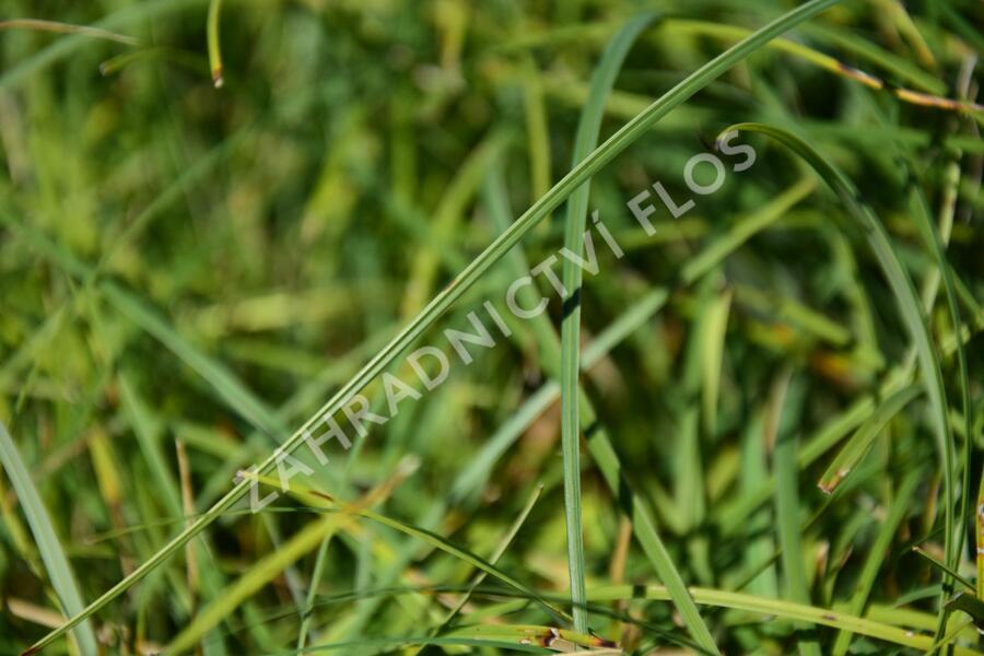 Ostřice chabá 'Buis' - Carex flacca 'Buis'
