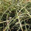 Ostřice 'Hime Kansuge' - Carex conica 'Hime Kansuge'