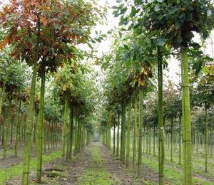Dub letní - Quercus robur