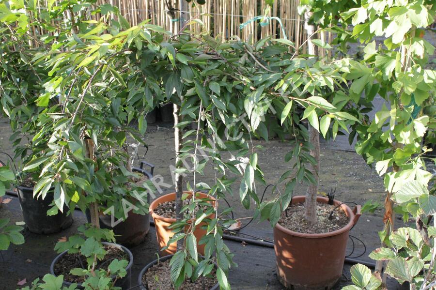 Višeň chloupkatá 'Pendula Rubra' - Prunus subhirtella 'Pendula Rubra'