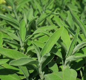 Šalvěj lékařská 'Sage' - Salvia officinalis 'Sage'