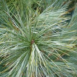 Borovice Wallichova 'Densa Hill' - Pinus wallichiana 'Densa Hill'