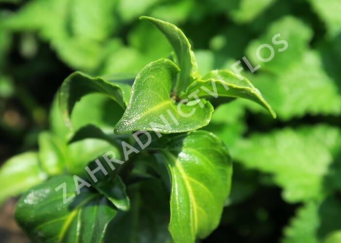 Rungia, houbová bylinka - Rungia klossii