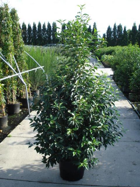 Bobkovišeň portugalská 'Angustifolia' - Prunus lusitanica 'Angustifolia'