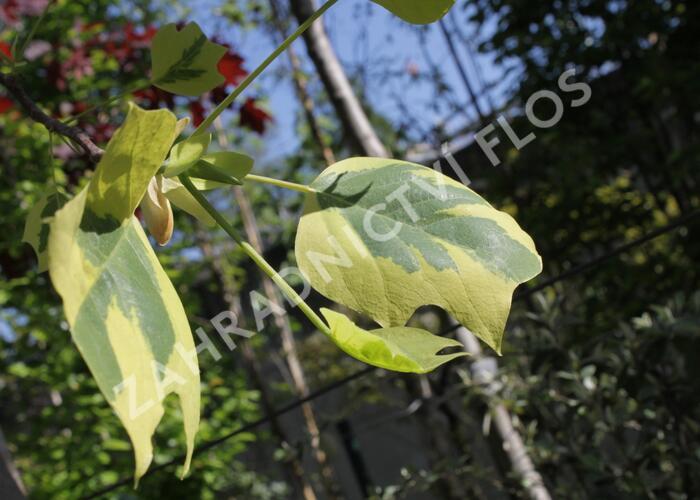 Lyriovník tulipánokvětý 'Aureomarginatum' - Liriodendron tulipifera 'Aureomarginatum'